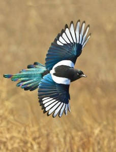 Black bill magpie